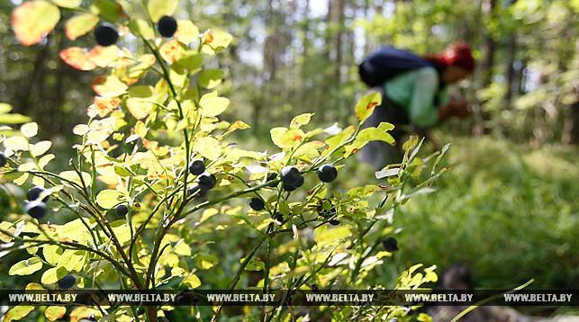 Чернику с повышенным содержание радионуклидов выявили в Брестской области