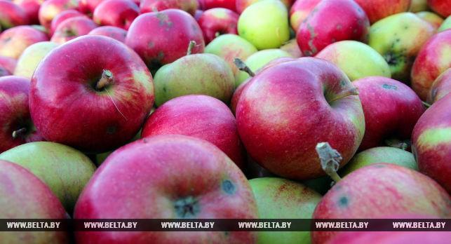 Кулинарные шедевры представят на яблочном фестивале в Брестском районе