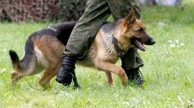 Служебная немецкая овчарка. Фото из архива