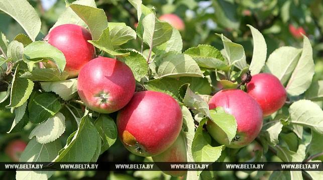 Десятиметровый пирог станет главным украшением яблочного фестиваля в Брестском районе