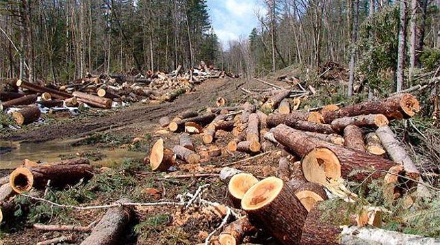 Польша прекратила использование тяжелой техники для вырубки деревьев в Беловежской пуще