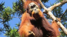 Орангутан Батанг-Тору