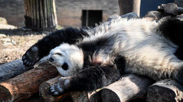 Панда по имени Я Синг