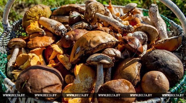 Минлесхоз напомнил о правилах сбора грибов и ягод в Беларуси