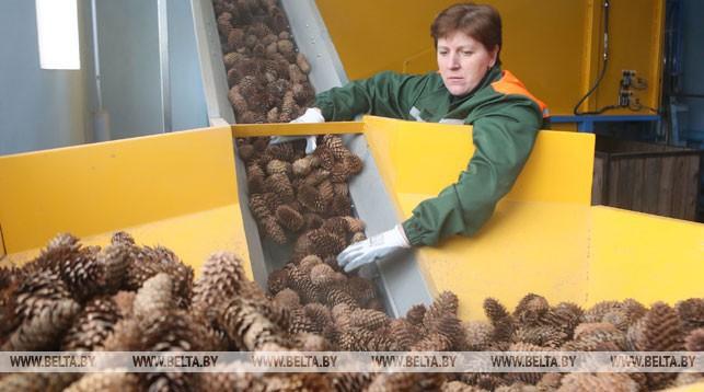 Лесхозы Беларуси заготовят в этом сезоне более 670 т шишек. Зачем?