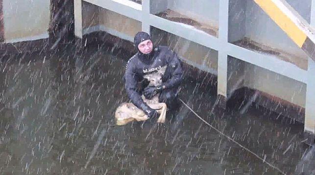 В Жабинковском районе спасатели помогли косуле выбраться из камеры шлюза