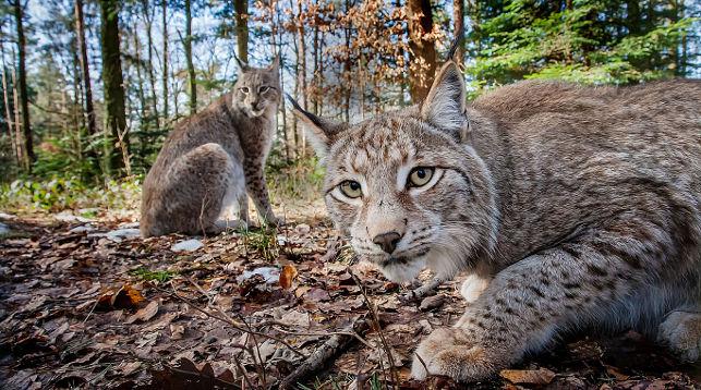 Рысь - 84 фото самого северного обитателя из семейства кошачьих | 358x643
