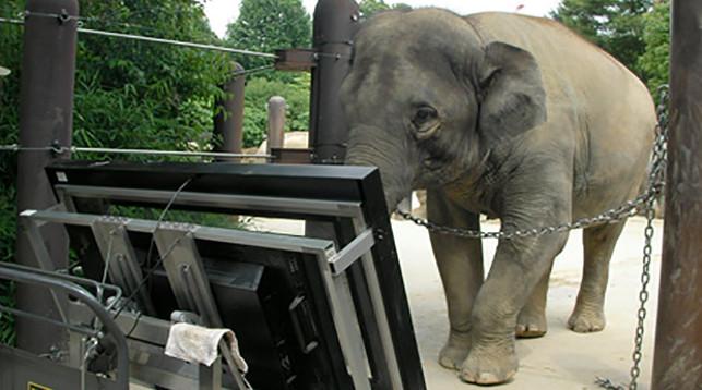 Слониха Аютяй перед сенсорной панелью во время эксперимента. Journal of Ethology