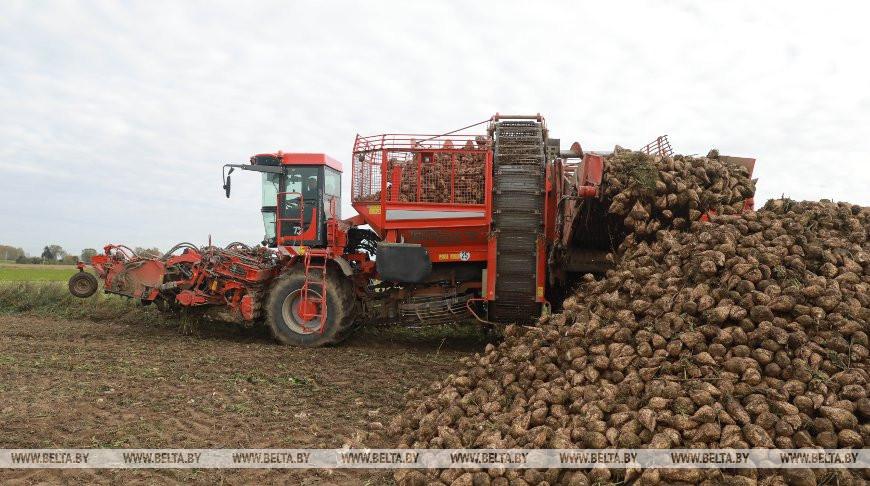 Сахарная свекла в Беларуси убрана более чем с половины площадей