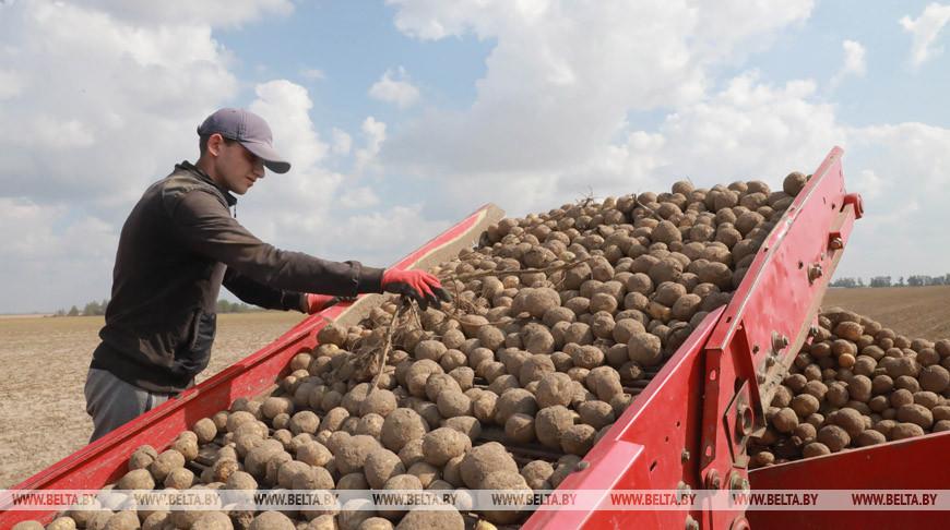 В Беларуси осталось убрать 4,3% площадей картофеля и 27,5% овощей