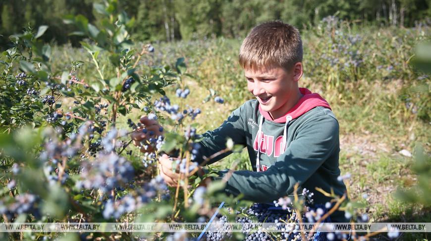 Школьник Александр Сокута участвует в сборе голубики