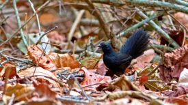 Фото с сайта brazilbirdingexperts.com