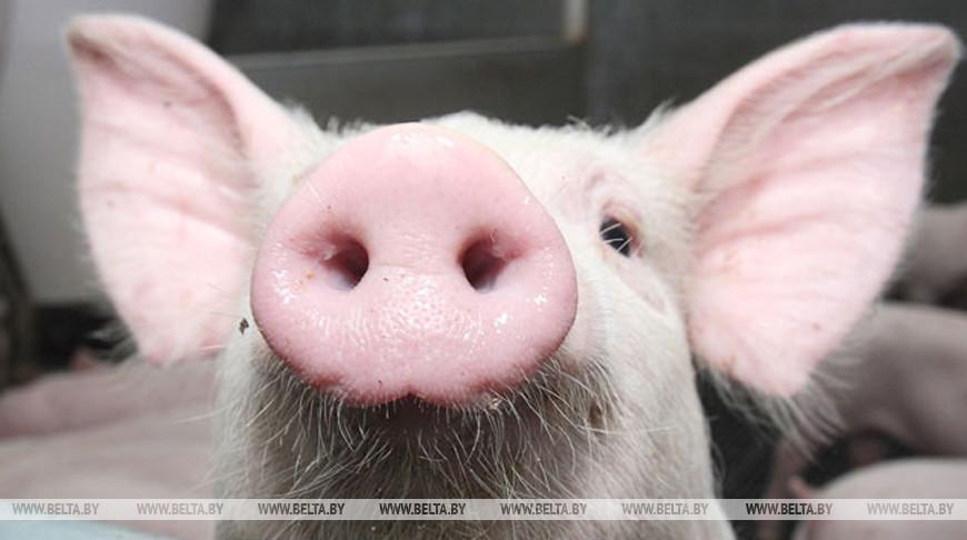 Беларусь ограничивает ввоз свинины из 8 областей Украины из-за АЧС