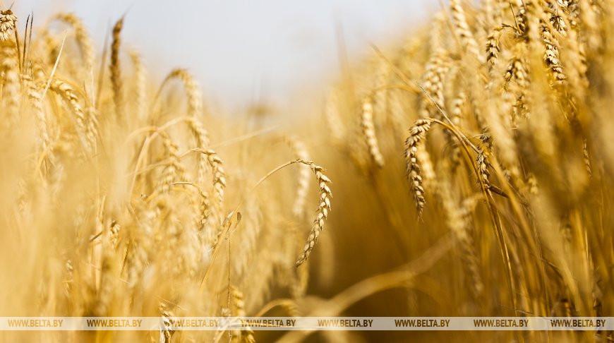 Хлеборобы Брестской области намолотили 1 млн т зерна