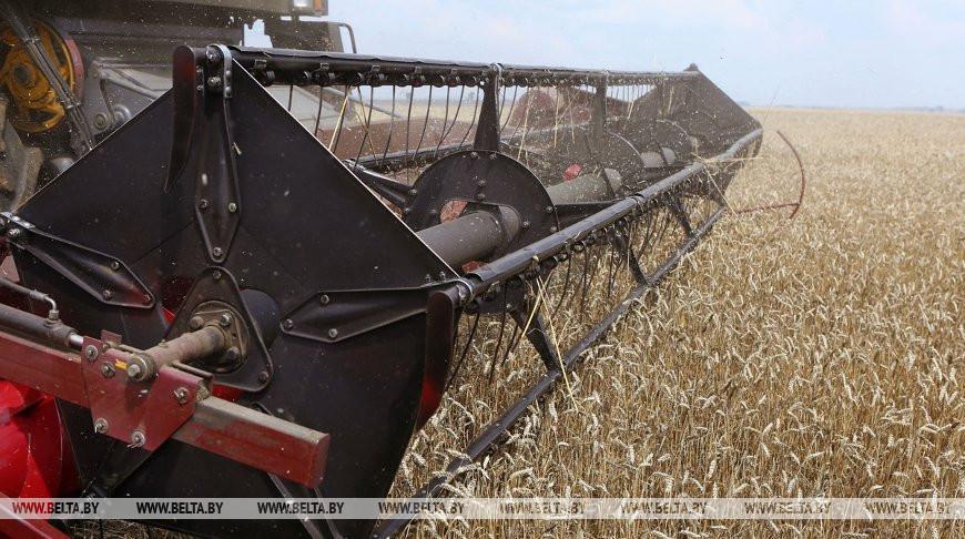 Пшеницу и озимую рожь в Беларуси осталось убрать менее чем с четверти площадей