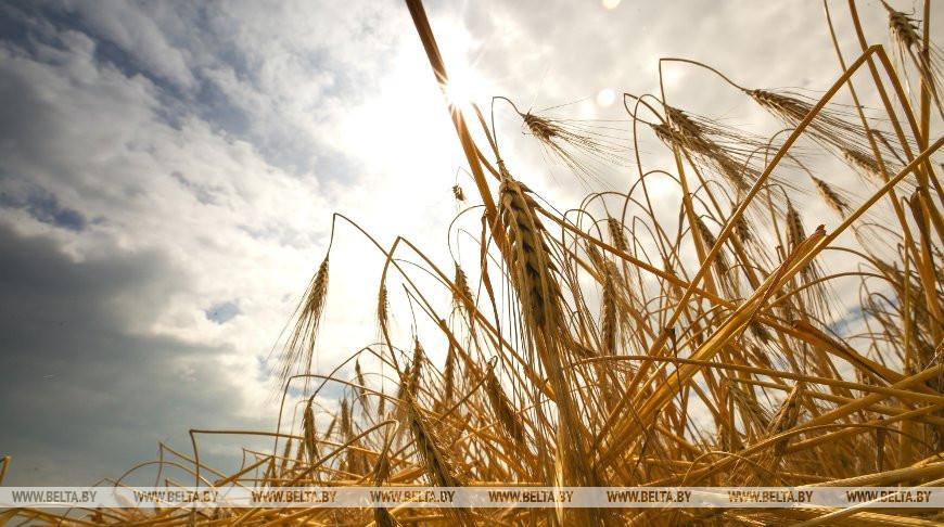 В Беларуси осталось убрать 12,1% площадей зерновых