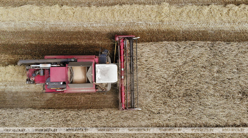 В Беларуси осталось убрать менее 8% площадей зерновых