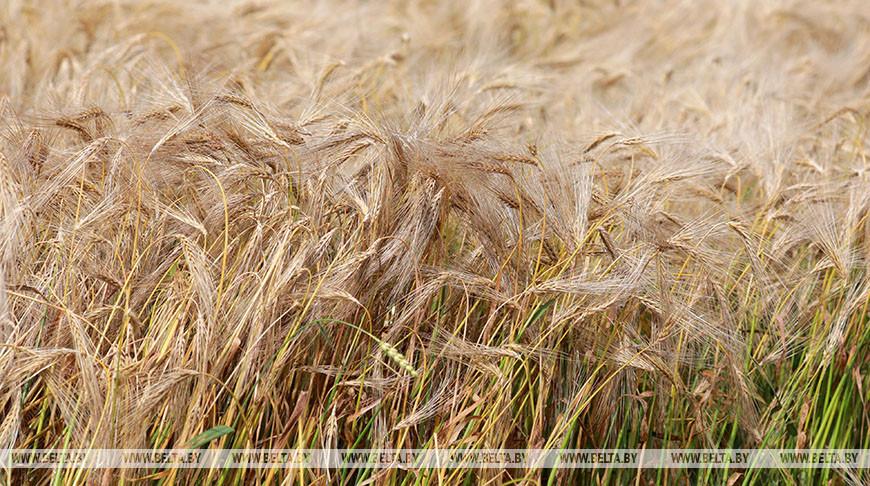 В Беларуси осталось убрать 3,5% зерновых