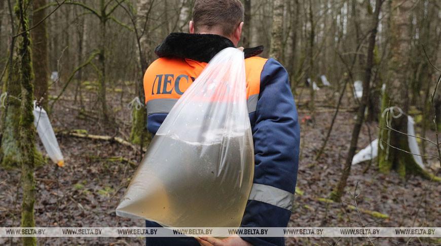 Лесхозы Беларуси собрали уже более 400 т березового сока. В лидерах - Брестская область