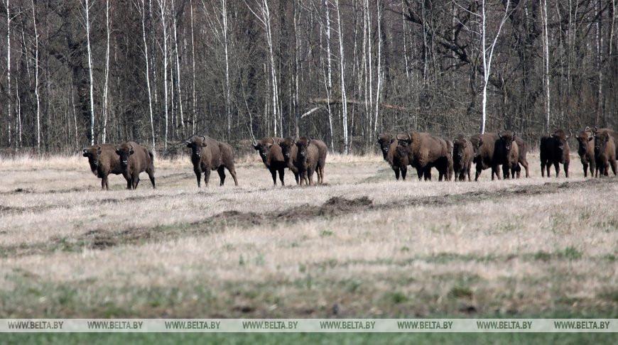 В Беловежской пуще посчитали животных. Сколько зубров?