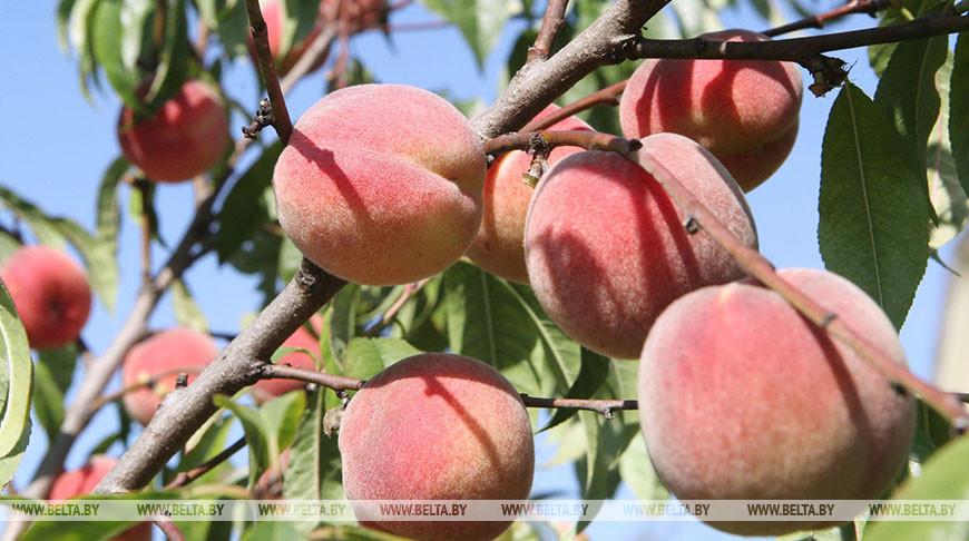 Белорусские ученые разрабатывают новые сорта персиков.