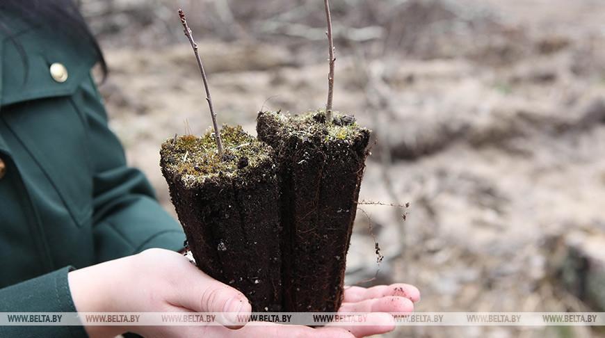 В Беловежской пуще увеличат посадки дуба черешчатого
