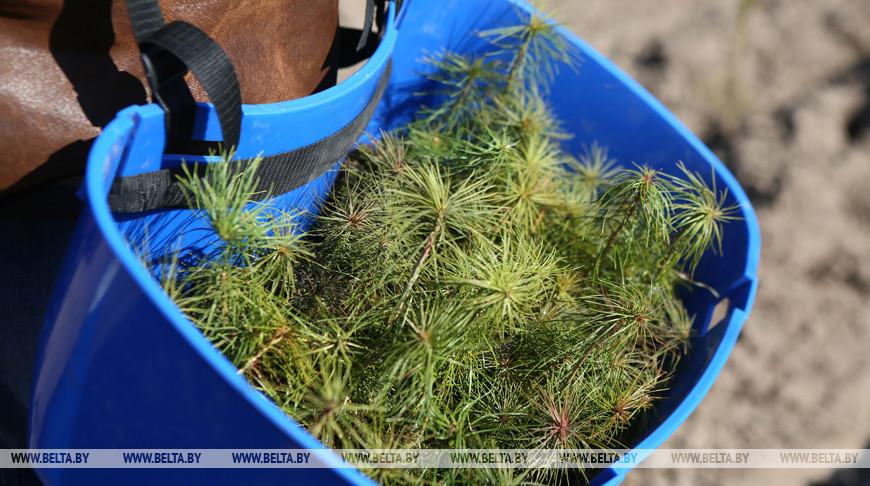 Аллею из 75 голубых елей высадят в Ивацевичском районе