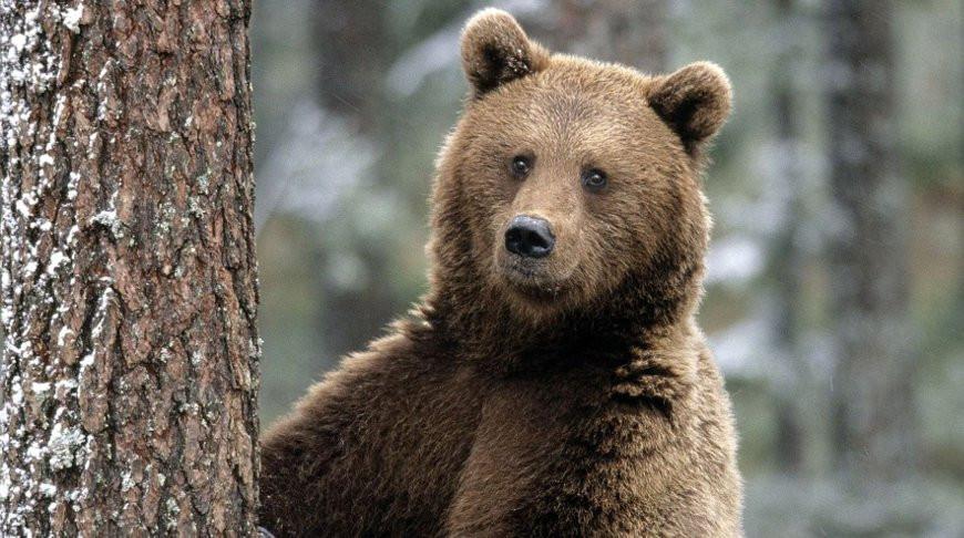 Бурый медведь попал в объектив фотоловушки в Беловежской пуще