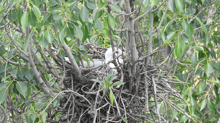 Уникальное гнездование редкого вида птиц выявили ученые в Бресте