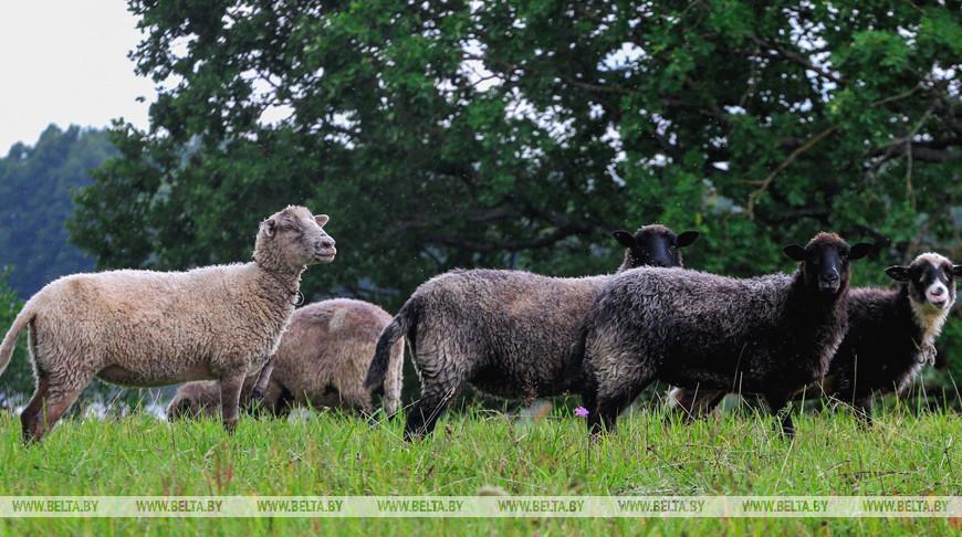 В Брестской области создают сеть племенных овцехозяйств