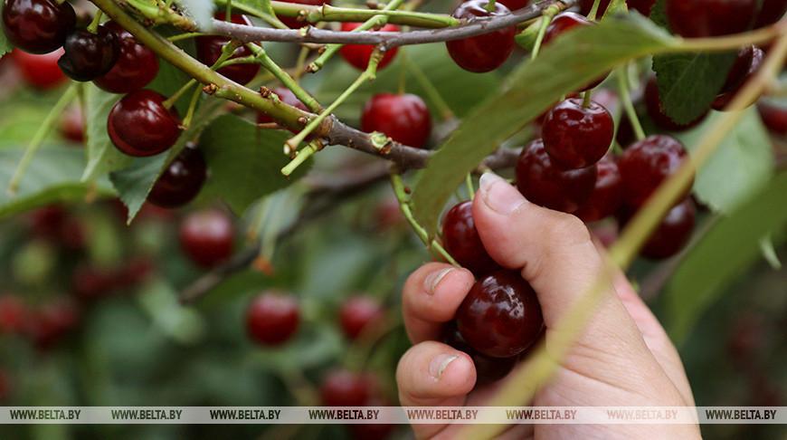 Пункт сортировки и переработки ягод откроют 3 июля в Пинском районе
