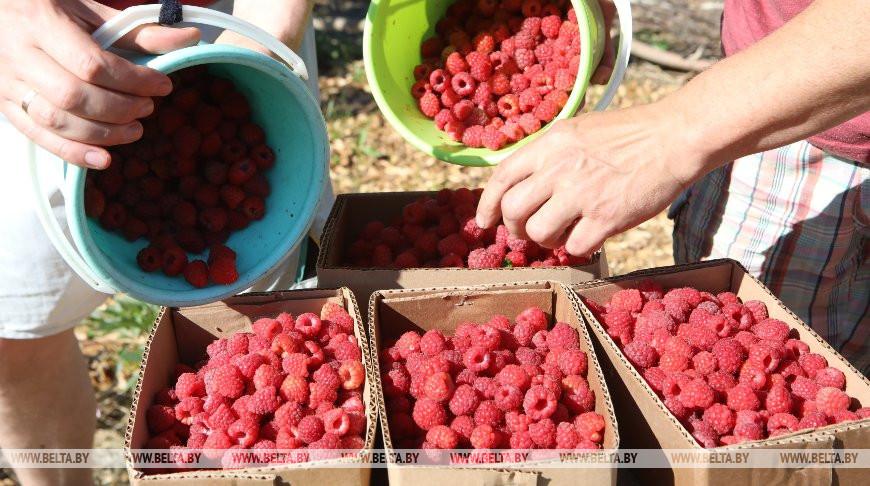 Более 4,5 тыс. т ягод, овощей и фруктов заготовит Малоритский консервноовощесушильный комбинат