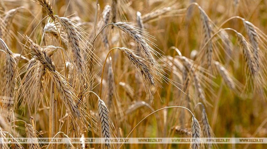 В Минской области убрано 98% площадей зерновых