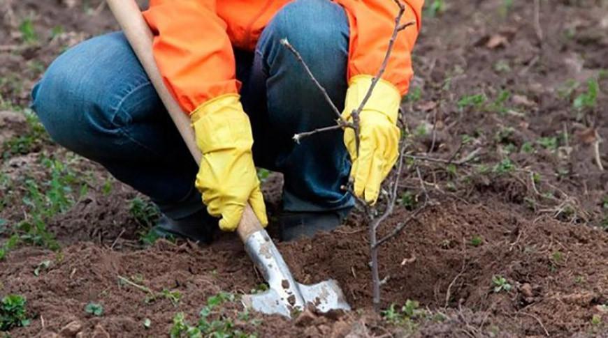 В Гродненской области стартовал месячник по посадке деревьев и кустарников.