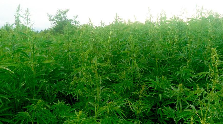 Коноплю уничтожили эрекция от марихуаны