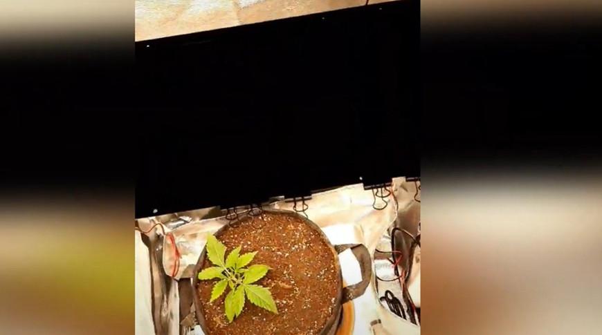 Минчанин выращивал коноплю для продажи знакомым