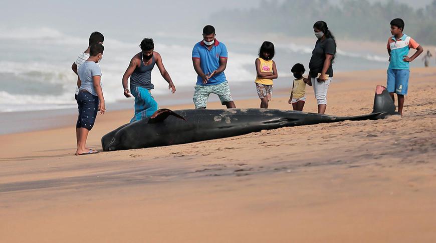 На юго-западном побережье Шри-Ланки, недалеко от города Панадура, спасли от гибели более 100 выбросившихся на берег китов.