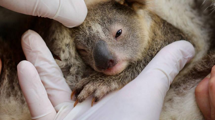 В австралийском парке дикой природы впервые после пожаров родилась коала.
