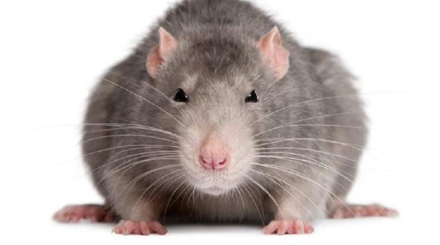 """Сплинтер?"""" - Смелая крыса отбилась от бродячей кошки - видео"""