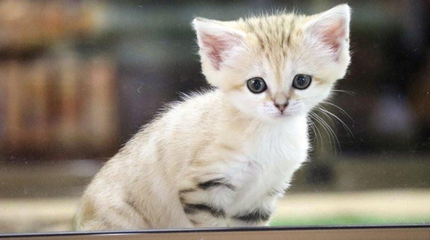 Первого детеныша барханного кота, родившегося в Японии, представят публике 13 июня.