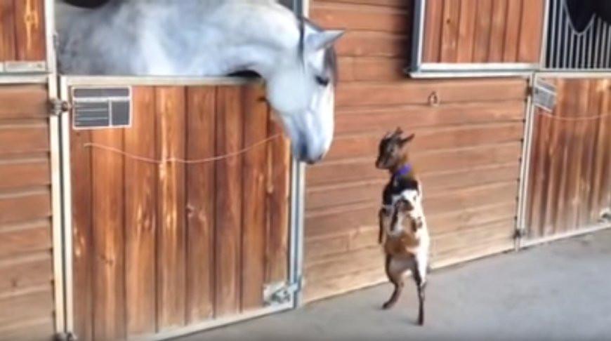 Скучающей лошади пришел 'на помощь' танцующий козленок - видео