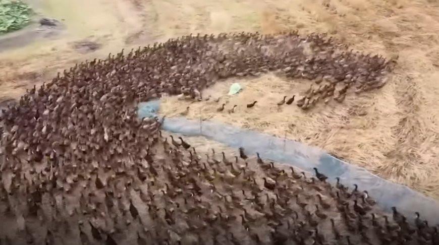 Армию из 10 тысяч уток выпустили в поле для борьбы с вредителями - видео