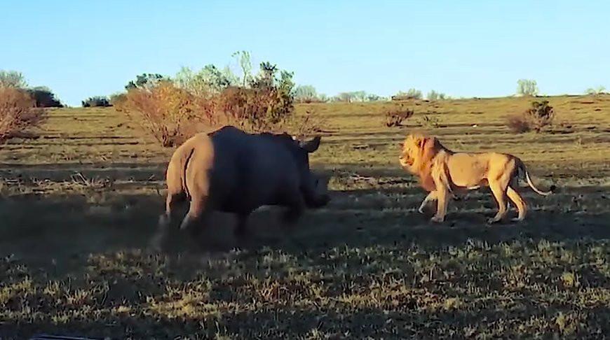 Настырный носорог прервал любовные утехи львов и рассмешил туристов - видео