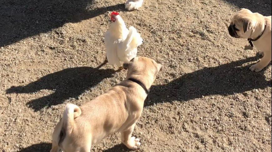 Курица забавно выбралась из окружения щенков - видео