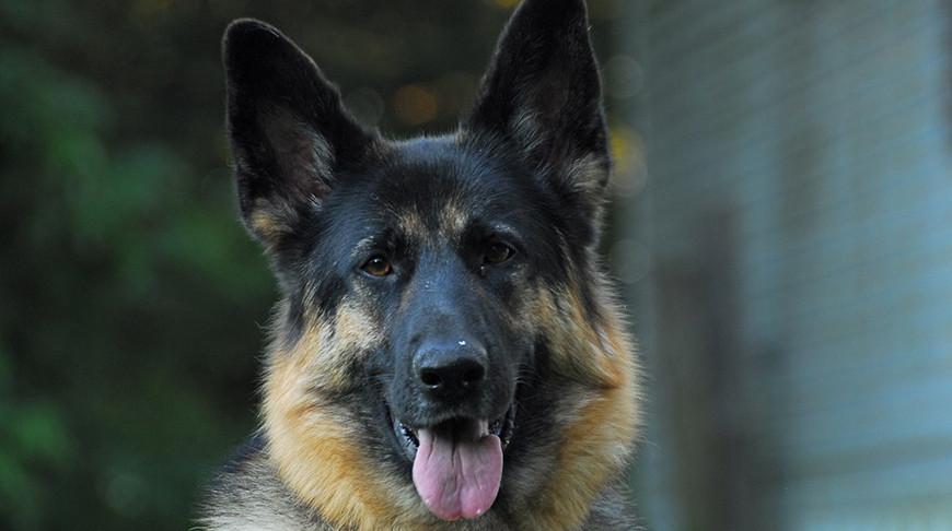 Вооруженные силы Австрии обучат служебных собак определять больных коронавирусом людей по запаху.