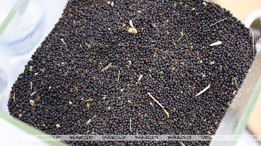 Семена рапса. Фото из архива
