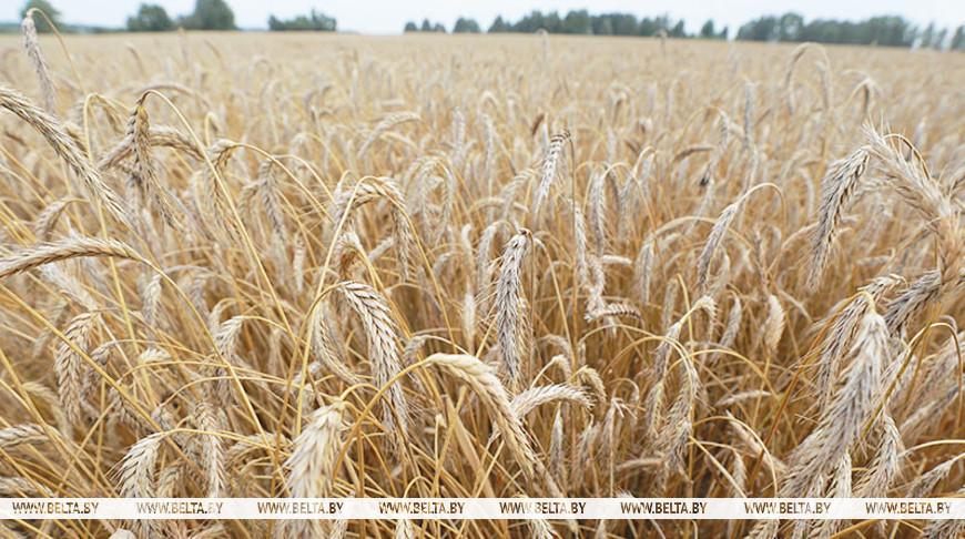 В Беларуси намолочено более 6 млн т зерна нового урожая.