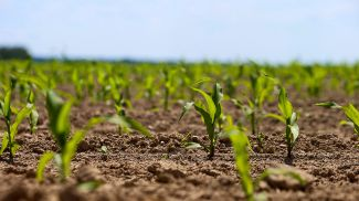 Кукурузное поле. Фото из архива