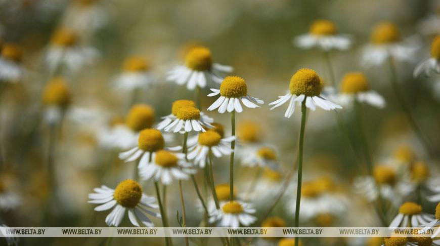 Сезон уборки лекарственных растений стартовал в Щучинском районе