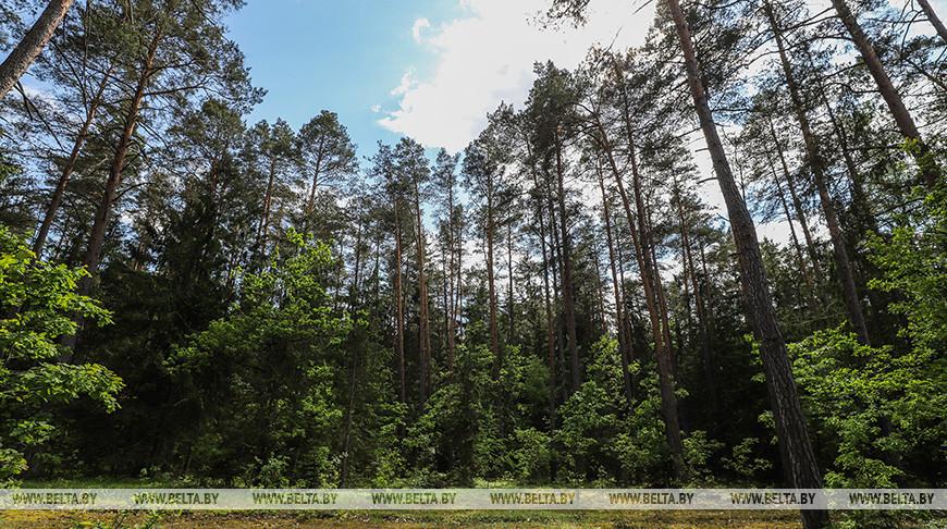 В Беловежской пуще сотрудники лесной охраны обнаружили увитый реликтовым плющом участок леса.